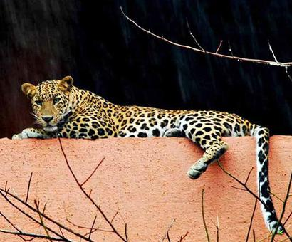 Humans vs leopards: Whose home is it?