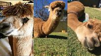 Meet Chewy, the adorable alpaca taking Instagram by storm