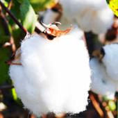 Indian Cotton prices increase on account of good demand from the spinning sector