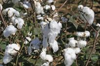 Bt cotton: Karnataka high court lifts partial stay on central price control order