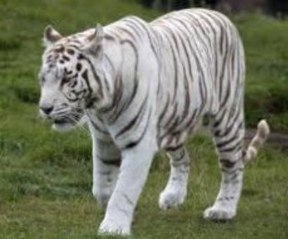 White tiger kills Std XII student in Delhi zoo