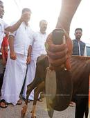 Congress suspends youth wing members for butchering calf in public
