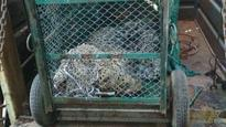36-hour chase for leopard ends in Maruti's Manesar plant; 'big cat' tranquillised
