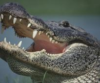 Bird Caught On Video Just Straight-Up Eating An Alligator