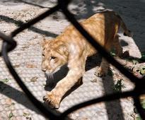 Natural surroundings for zoo lions