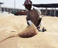 Traders to import 80,000 tonnes wheat as rains damage standing crop
