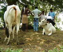 Odisha: 1,77,700 doses of vaccines administered to livestock as preventive measures in flood affected areas
