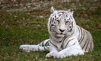 White tiger, bitten by snake, dies at Indore Zoo