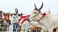 Government amends PCA act, frames jallikattu rules